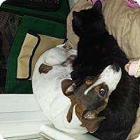 Adopt A Pet :: Bella - Wisconsin Dells, WI