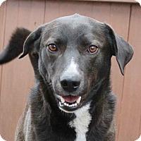 Adopt A Pet :: Boots - Mt. Prospect, IL