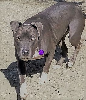 Pit Bull Terrier/Bull Terrier Mix Dog for adoption in Palm Springs, California - Zoey