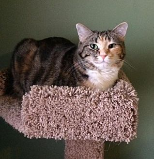 Domestic Shorthair Cat for adoption in O'Fallon, Missouri - Isabelle