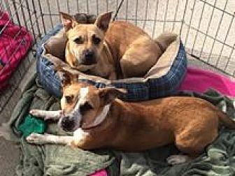 Corgi/Shepherd (Unknown Type) Mix Puppy for adoption in Acworth, Georgia - Anastasia