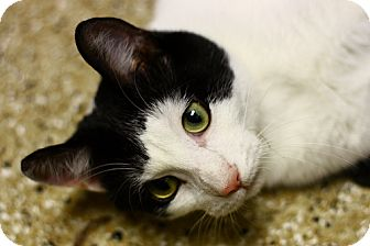 Domestic Shorthair Cat for adoption in Lombard, Illinois - Jackson
