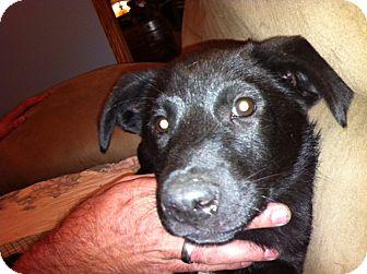 Labrador Retriever Mix Puppy for adoption in Manchester, Connecticut - Loki