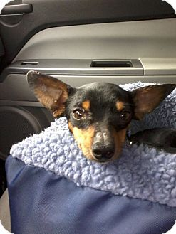 Chihuahua/Dachshund Mix Dog for adoption in Gainesville, Florida - Moe