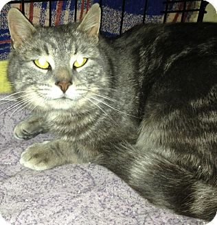 Domestic Shorthair Cat for adoption in Huntsville, Ontario - Griffin - Foster Home Needed!