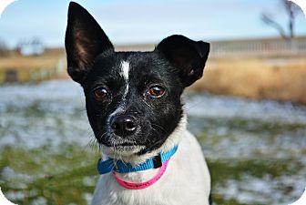 Rat Terrier Mix Dog for adoption in Cheyenne, Wyoming - Dumpling