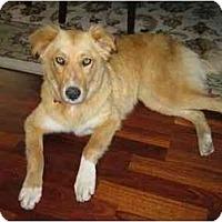 Adopt A Pet :: Goldie (Flagstaff) - Scottsdale, AZ