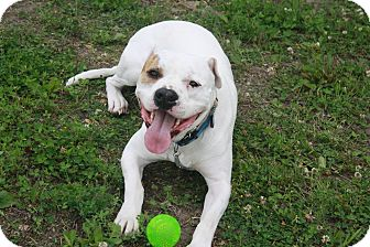 American Bulldog/American Pit Bull Terrier Mix Dog for adoption in Alexandria, Minnesota - Petey