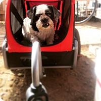 Lhasa Apso Mix Dog for adoption in Seattle, Washington - Princess Pls read story