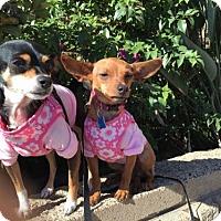 Chihuahua/Dachshund Mix Dog for adoption in Costa Mesa, California - Tabitha & Kona