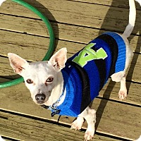 Adopt A Pet :: Cornelius - Sweet Shy Boy - Seattle, WA