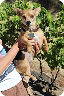 Beagle/Dachshund Mix Dog for adoption in Creston, California - Snoopy