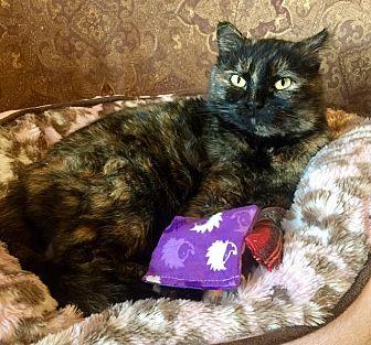 Domestic Shorthair Cat for adoption in Edmond, Oklahoma - Cinderella