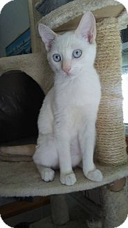 Siamese Cat for adoption in West Palm Beach, Florida - Flame