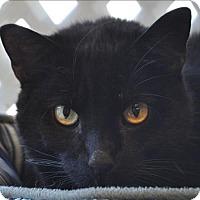 Domestic Shorthair Cat for adoption in Osage Beach, Missouri - Big Boy