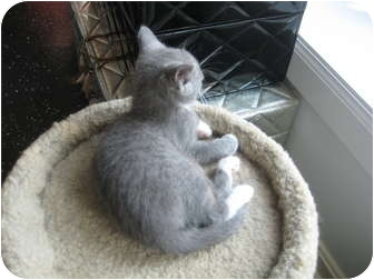 Domestic Shorthair Kitten for adoption in Jeffersonville, Indiana - Tweety