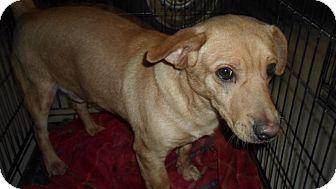 Beagle/Basset Hound Mix Dog for adoption in Hazard, Kentucky - Scout