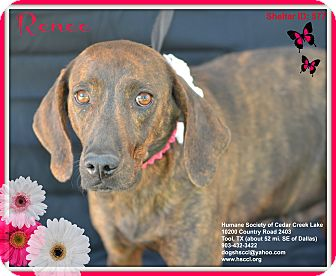 Plott Hound Mix Dog for adoption in Plano, Texas - Renee