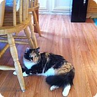 Adopt A Pet :: Callie - Piscataway, NJ
