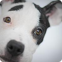 Adopt A Pet :: Mogwai - Reisterstown, MD