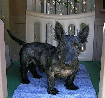 Scottie, Scottish Terrier Dog for adoption in Dallas, Texas - Chandler