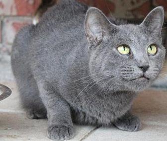 Domestic Shorthair Cat for adoption in Sebastian, Florida - Nermal