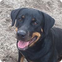 Rottweiler Dog for adoption in hawthorne, Florida - Lola