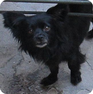 Chihuahua/Pomeranian Mix Dog for adoption in San Ysidro, California - Angel
