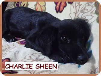 Dachshund/Collie Mix Puppy for adoption in Batesville, Arkansas - Charlie Sheen