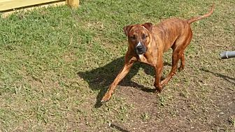 Labrador Retriever/Plott Hound Mix Dog for adoption in Houston, Texas - Roscoe