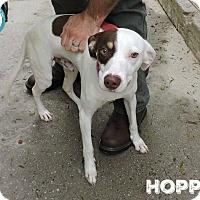 Adopt A Pet :: Hopper - Kimberton, PA
