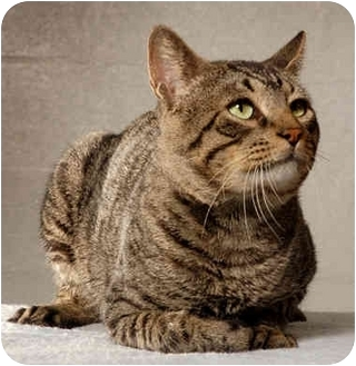Bengal Cat for adoption in New York, New York - Beau