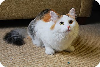 Domestic Longhair Cat for adoption in Chicago, Illinois - Jin