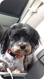 Havanese/Shih Tzu Mix Dog for adoption in Indian Trail, North Carolina - Pepper