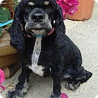 Adopt A Pet :: Suzy Q - Sugarland, TX