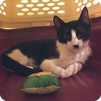 Domestic Shorthair Kitten for adoption in Tucson, Arizona - Domino