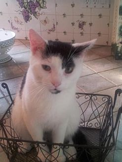 Domestic Shorthair Cat for adoption in Hazlet, New Jersey - Shane