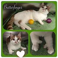 Adopt A Pet :: Butterfinger - Harrisburg, NC