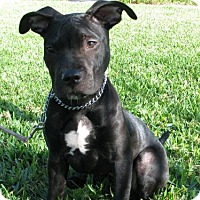 Adopt A Pet :: Ivy - Orlando, FL