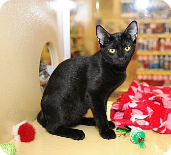 Domestic Shorthair Cat for adoption in Farmingdale, New York - Jewel
