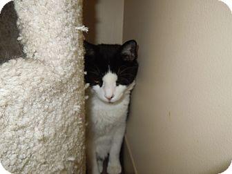 Domestic Shorthair Cat for adoption in Medina, Ohio - Charlie