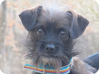 Terrier (Unknown Type, Small)/Yorkie, Yorkshire Terrier Mix Dog for adoption in Plainfield, Connecticut - Chelsey