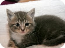 Domestic Shorthair Kitten for adoption in East Brunswick, New Jersey - Abby