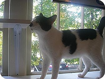 American Bobtail Cat for adoption in Cleveland, Tennessee - SYLVESTER