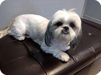 Lhasa Apso Dog for adoption in Los Angeles, California - UTA