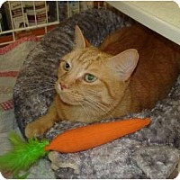 Adopt A Pet :: Orange Cat - Chesapeake, VA