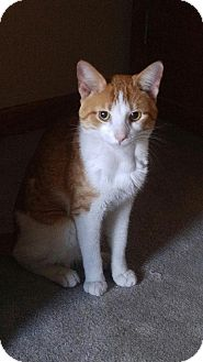 Domestic Shorthair Cat for adoption in Whiting, Indiana - Taz