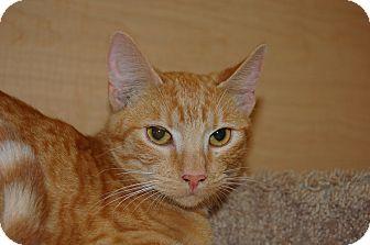 Domestic Shorthair Cat for adoption in Whittier, California - Chloe