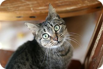 Domestic Shorthair Cat for adoption in New Prague, Minnesota - Jersey