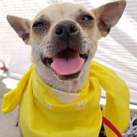 Chihuahua/Terrier (Unknown Type, Medium) Mix Dog for adoption in Apple Valley, California - Latte